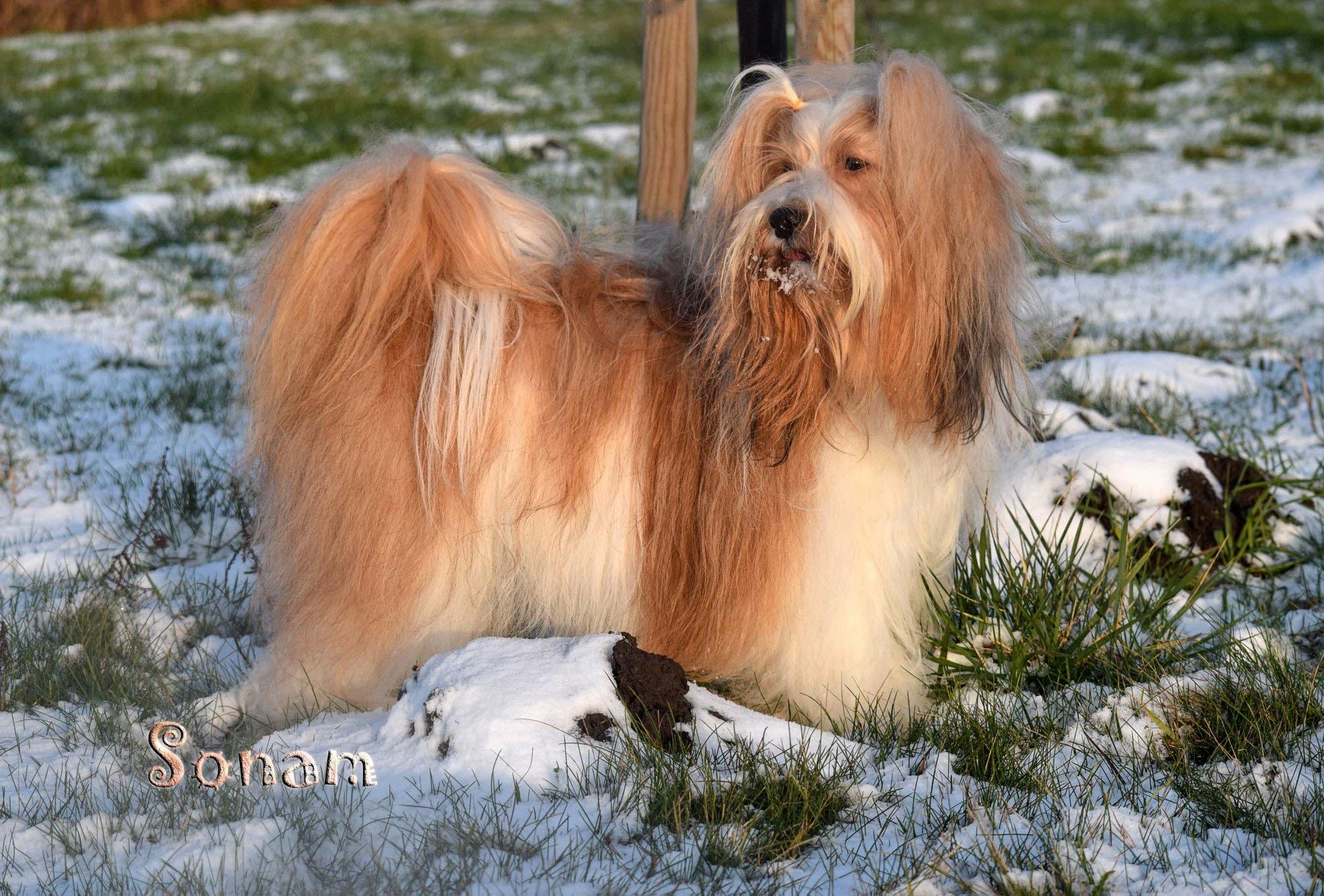 Tibetanske Terrier Hvalpe