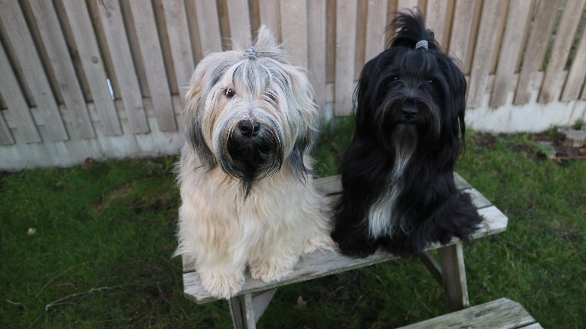 Kennel Tibetantales - Opdræt af Tibetansk Terrier
